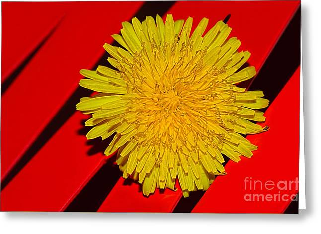 Yellow On Red - Dandelion By Kaye Menner Greeting Card by Kaye Menner