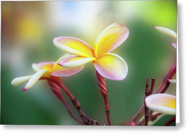Yellow Pastel Plumeria Greeting Card by Sean Davey