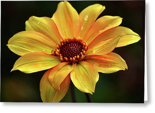 Greeting Card featuring the photograph Yellow Petals And Drops by Julie Palencia
