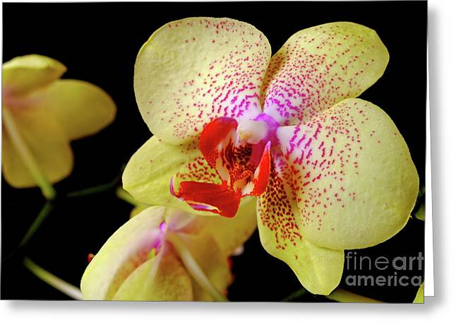 Greeting Card featuring the photograph Yellow Phalaenopsis Orchid by Dariusz Gudowicz