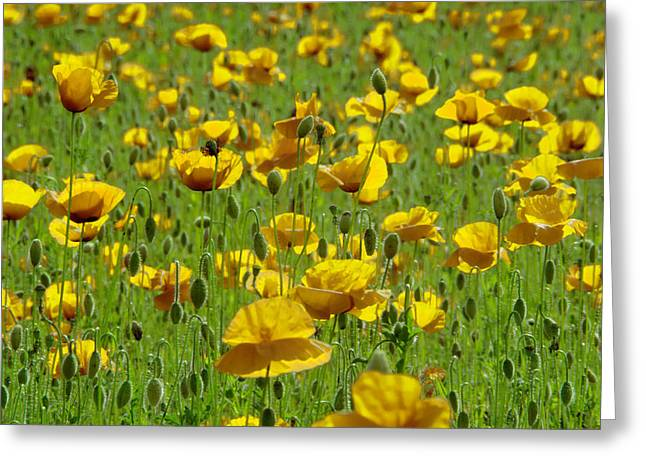 Yellow Poppy Field Greeting Card