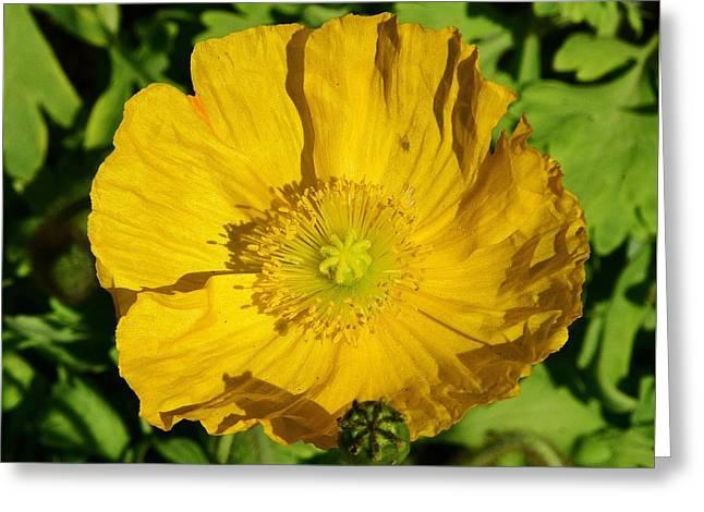 Yellow Poppy Macro 1 Greeting Card