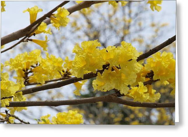 Yellow Poui In Bloom Greeting Card by Peter Hanoomansingh