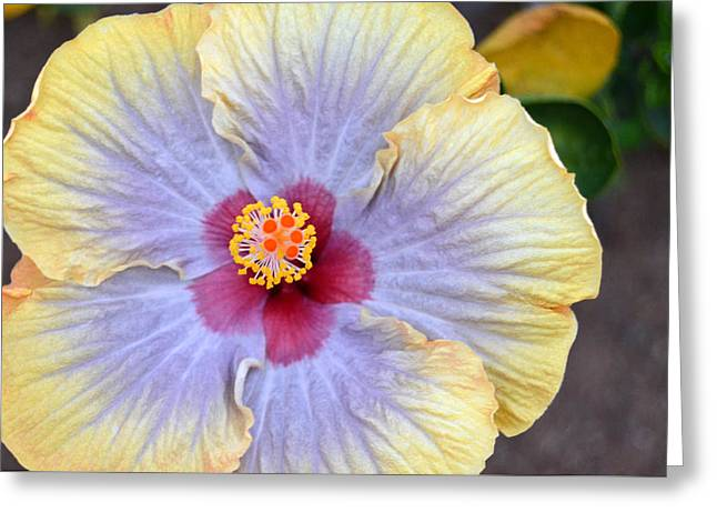 Yellow Purple Hibiscus 3 Greeting Card by Amy Fose