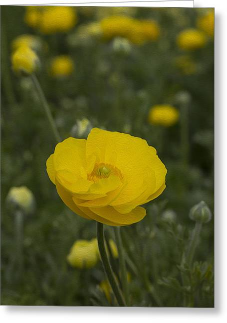 Yellow Ranunculus Flowers Greeting Card