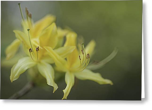 Yellow Rhodo Greeting Card