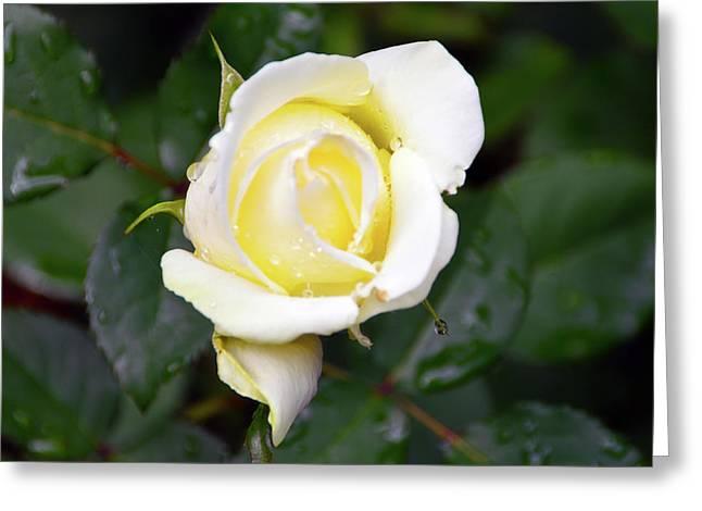 Yellow Rose 1 Greeting Card
