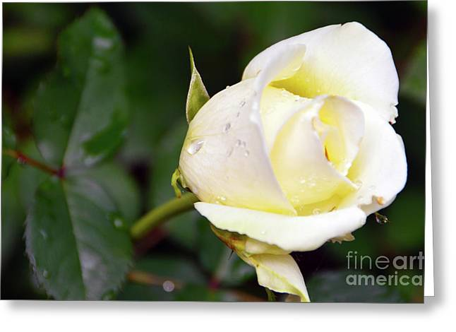 Yellow Rose 2 Greeting Card