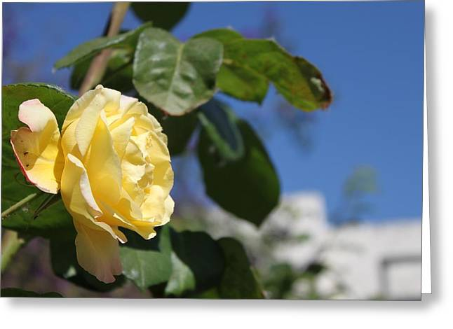 Yellow Rose 2 Greeting Card by Remegio Onia