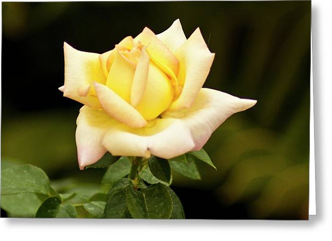 Greeting Card featuring the photograph Yellow Rose by Bill Barber