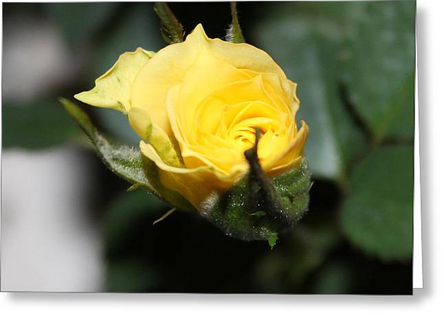 Yellow Rose Bud Greeting Card by Evelyn Patrick