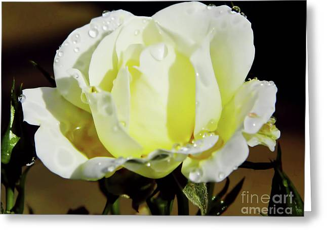 Yellow Rose Dew Drops Greeting Card