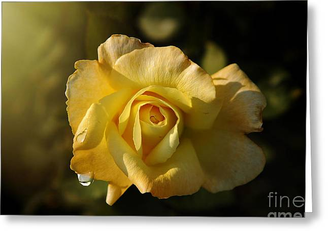 Yellow Rose In Bloom Greeting Card by Stefano Senise