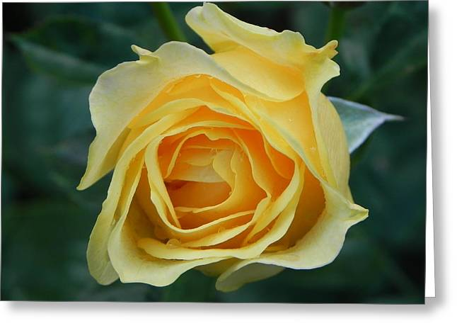 Yellow Rose Greeting Card by John Parry