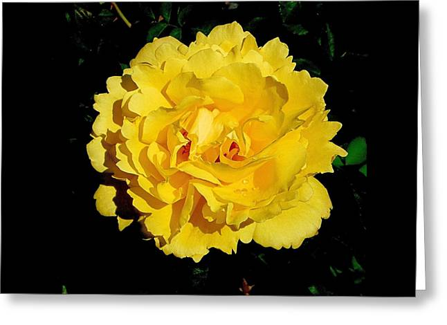 Yellow Rose Kissed By The Rain Greeting Card