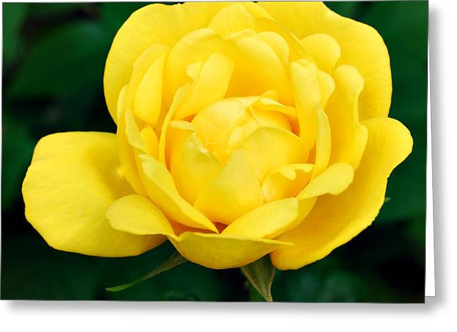 Yellow Rose Greeting Card by Marilynne Bull