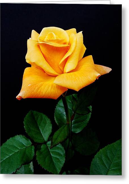 Yellow Rose Greeting Card by Michael Peychich