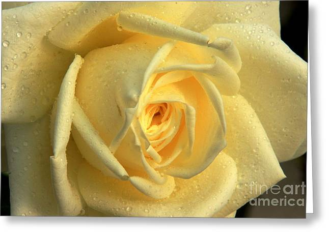 Greeting Card featuring the photograph Yellow Rose by Nicola Fiscarelli