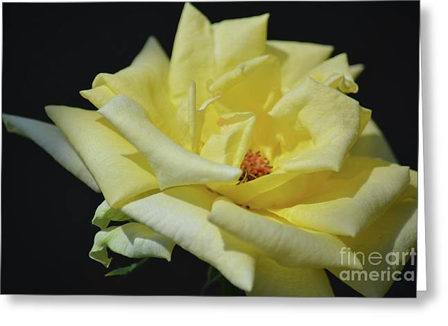 Yellow Rose Of Texas 2 Greeting Card by Ruth Housley