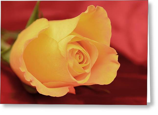 Yellow Rose On Red Greeting Card