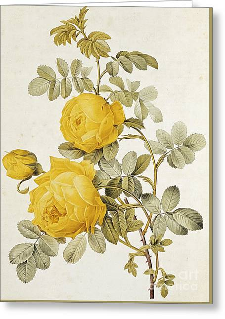 Yellow Rose Greeting Card by Pierre Joseph Redoute