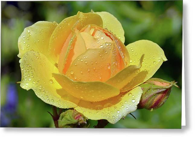 Yellow Rose Portrait Greeting Card