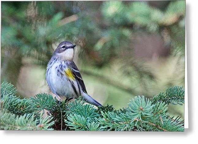 Yellow- Rumped Warbler 2 Greeting Card