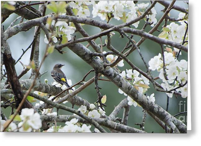 Yellow-rumped Warbler In Pear Tree Greeting Card by Donna Brown