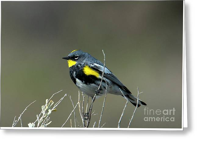 Yellow-rumped Warbler Greeting Card by Mike Dawson