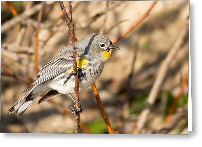 Yellow-rumped Warbler On A Willow Greeting Card