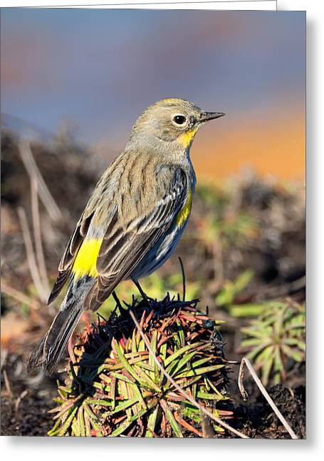 Yellow-rumped Warbler On The Bluff Greeting Card