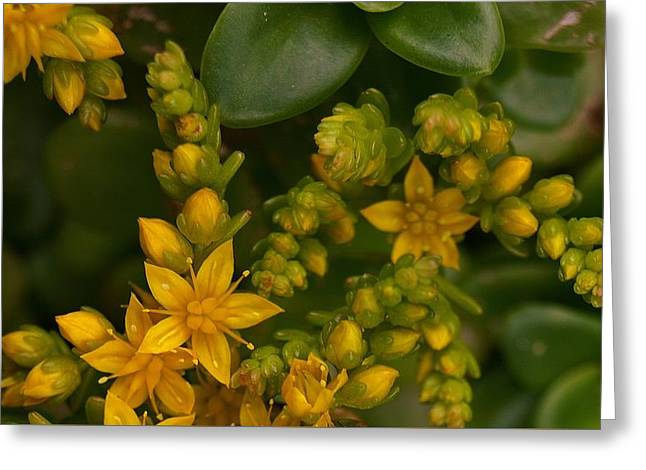 Yellow Sedum Greeting Card