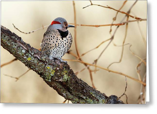 Betty Larue Greeting Cards - Yellow-shafted Northern Flicker Greeting Card by Betty LaRue