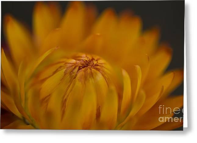 Yellow Strawflower Blossom Close-up Greeting Card