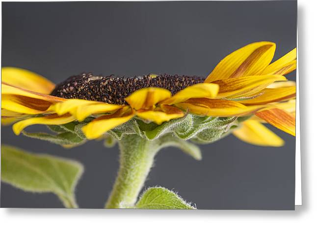 Yellow Sunflower Fine Art Wall Decor Greeting Card