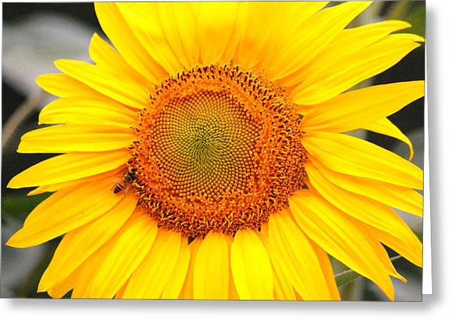 Yellow Sunflower With Bee Greeting Card by Amy Fose