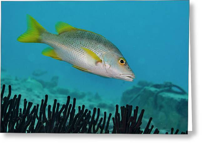 Yellow Tail Snapper Greeting Card by Jean Noren