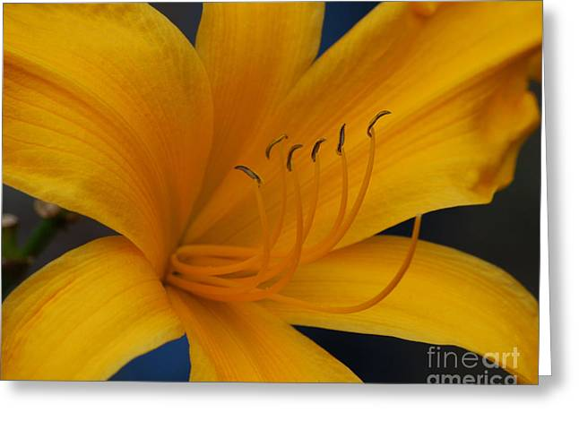 Yellow Tiger Lilly Greeting Card
