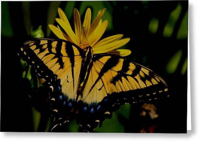Yellow Tiger Swallowtail Butterflly Greeting Card by Martin Morehead
