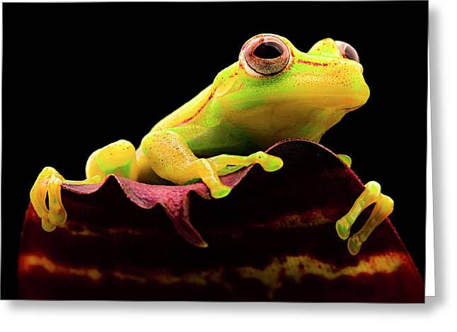 Yellow Tree Frog - Hypsiboas Punctatus Greeting Card