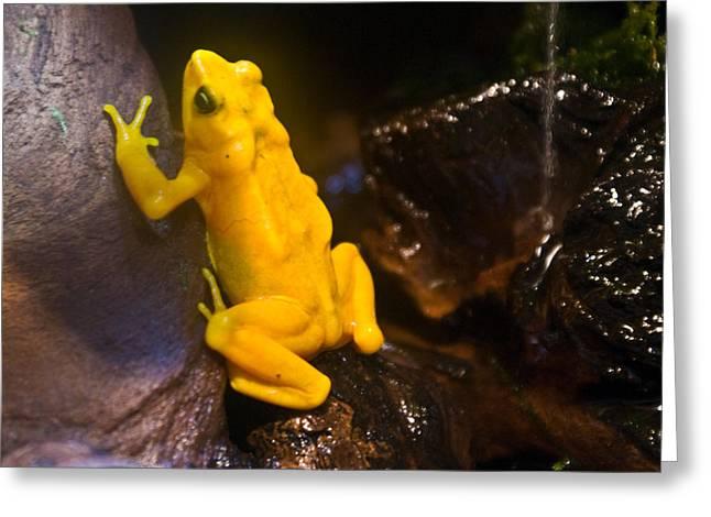 Yellow Tropical Frog Greeting Card by Douglas Barnett