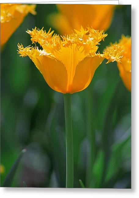 Yellow Tulip Greeting Card