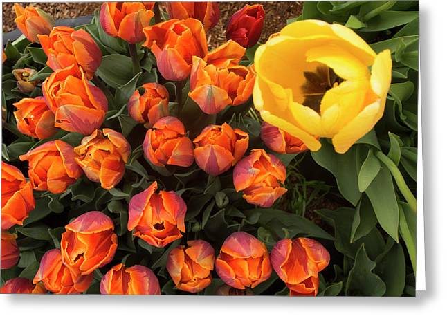 Yellow Tulip Supervisor Greeting Card by Jean Noren