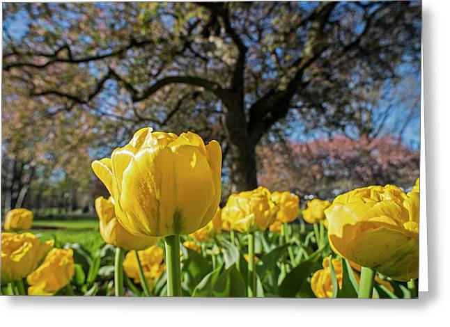 Yellow Tulips In The Public Garden Boston Ma Greeting Card by Toby McGuire