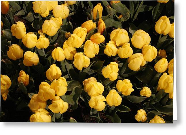 Yellow Tulips Greeting Card by Jeff Porter