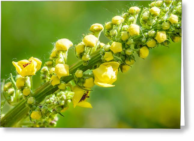 Yellow Verbascum Thapsus Greeting Card by Alain De Maximy
