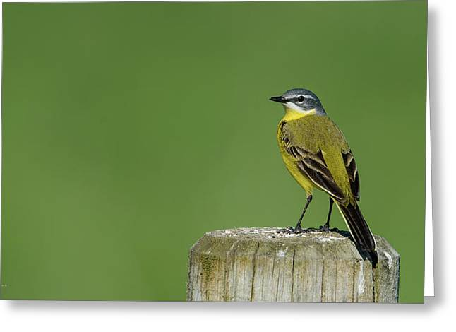 Yellow Wagtail Perching On The Roundpole Greeting Card