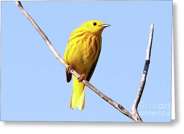 Yellow Warbler #1 Greeting Card by Marle Nopardi
