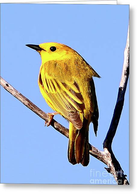 Yellow Warbler #2 Greeting Card by Marle Nopardi