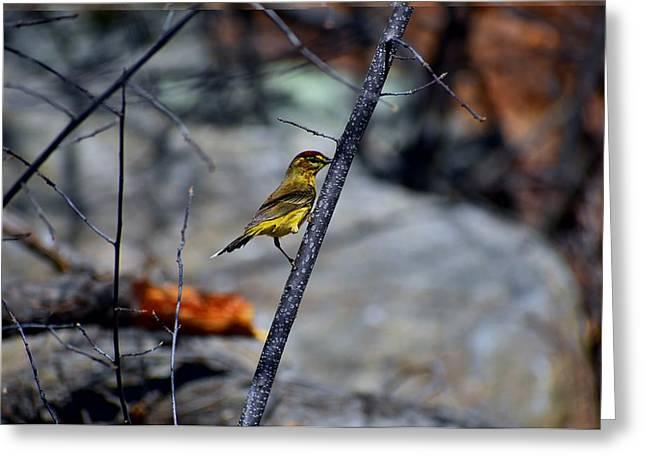 Yellow Warbler 2 Greeting Card